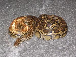 Burmese Python Everglades