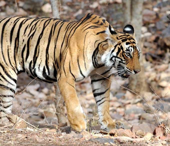 Endangered animals in india essay